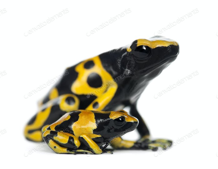 Yellow-Banded Poison Dart Frogs, Dendrobates leucomelas