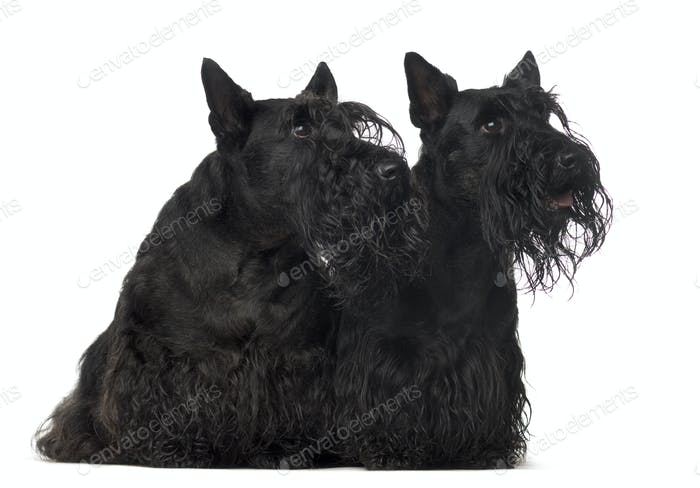Two mixed breed dogs sitting, cut out