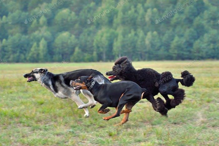 Coursing training