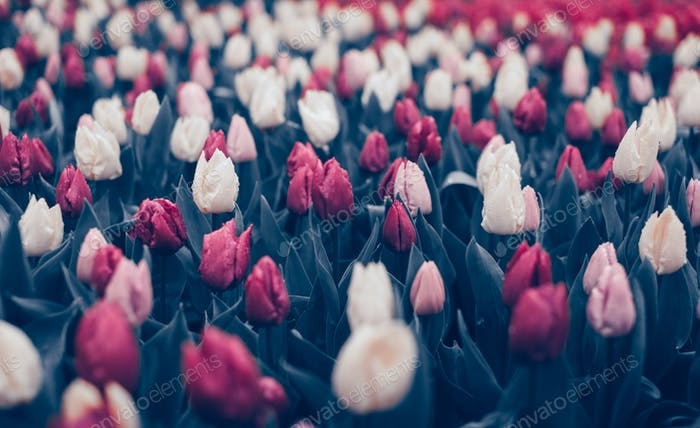 Tulips. Beautiful flowers in spring park, floral background. Vin