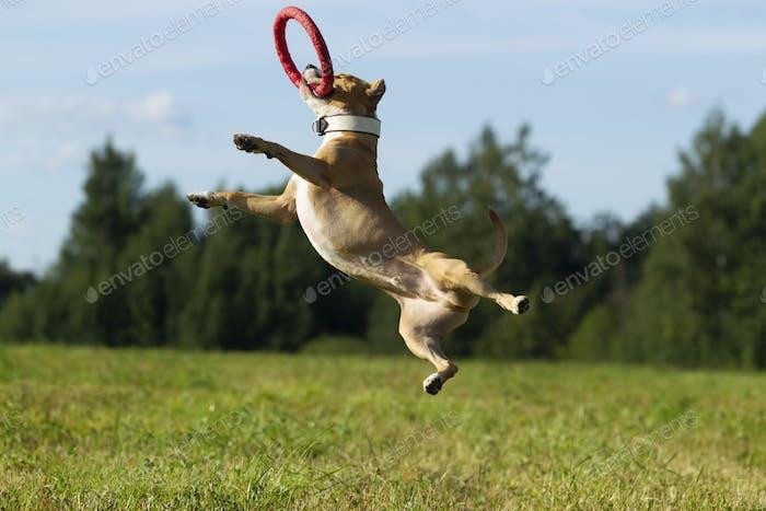 Staffordshire Terrier auf einem Spaziergang auf dem Feld an einem sonnigen Sommertag
