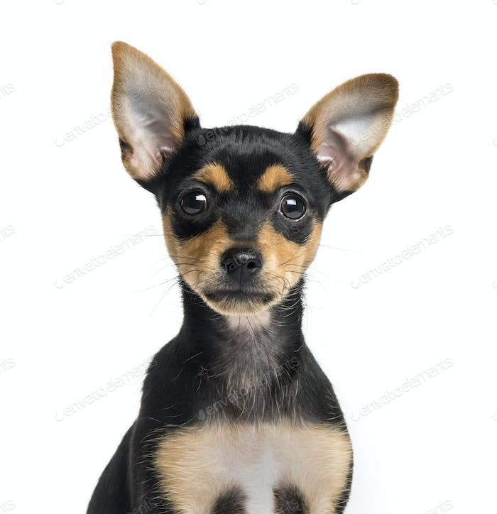 Close-up of a German Pinscher puppy, 2 months old, isolated on white