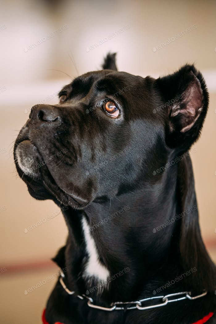 Funny Black Adult Cane Corso Close Up