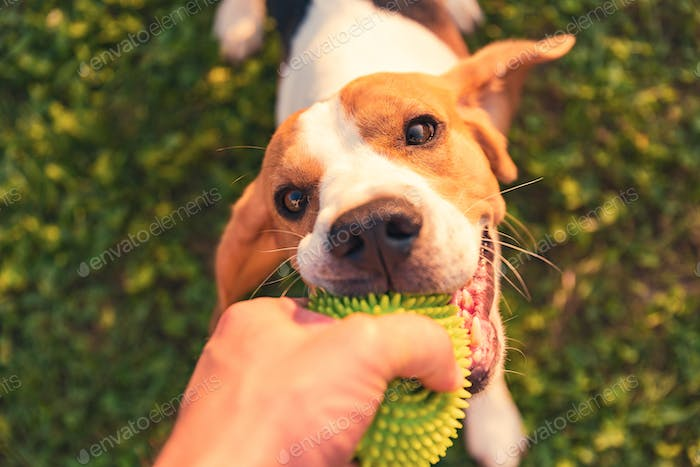 Tug of war with beagle dog on a grass in sunny summer day