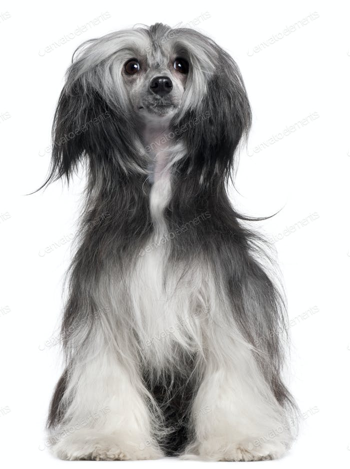 Chinese Crested Dog, 15 months old, sitting in front of white background