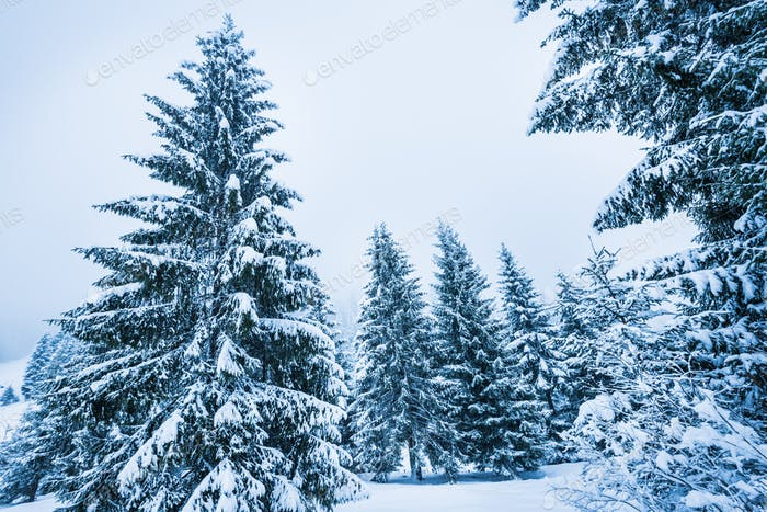 Bottom view tall beautiful majestic spruce trees