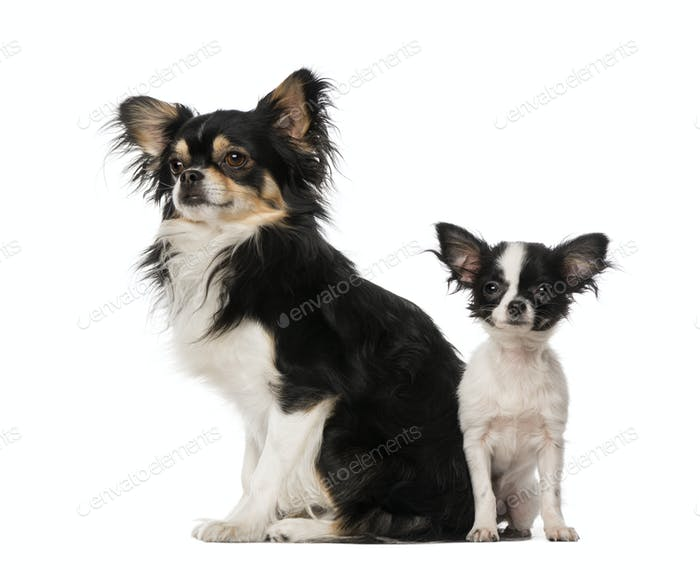 two Chihuahuas sitting toghether, isolated on white