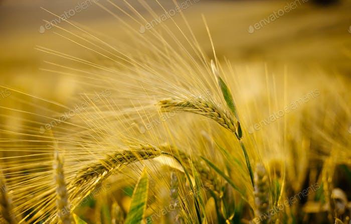 Wheat grass field and soft sunlight beautiful landscape