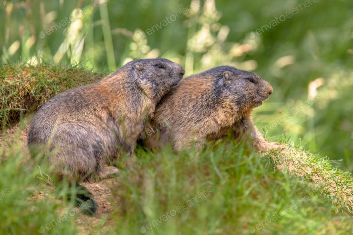 Two Alpine marmots