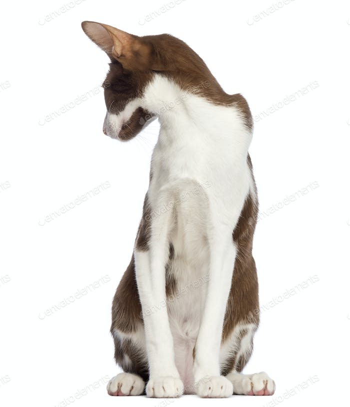 Oriental Shorthair sitting and looking back against white background