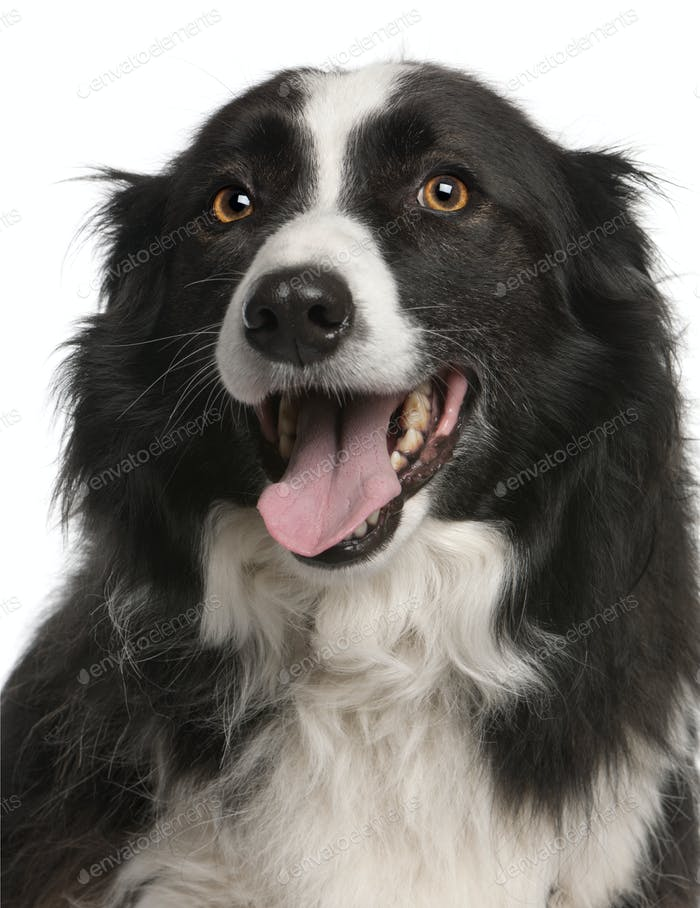 Close-up of Border Collie panting, 5 years old, in front of white background