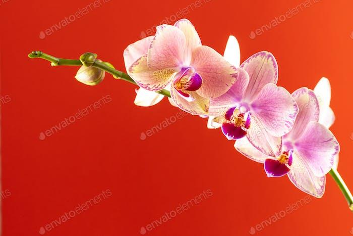 Flores de orquídea sobre fondo rojo de cerca
