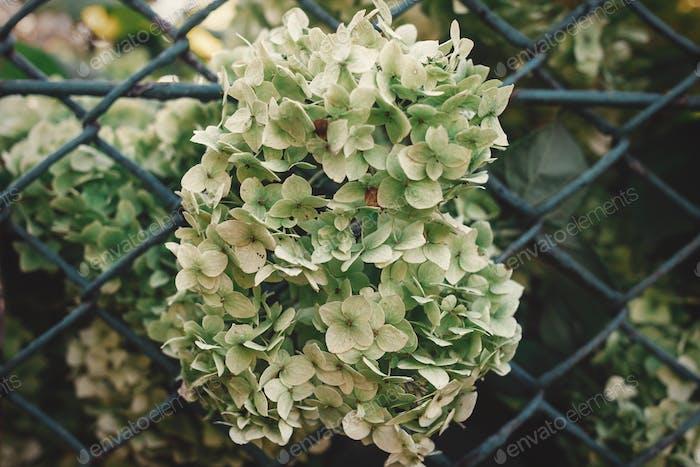 Schöne weiß-grüne Hortensie am alten rustikalen Zaun bei sonnigem Licht