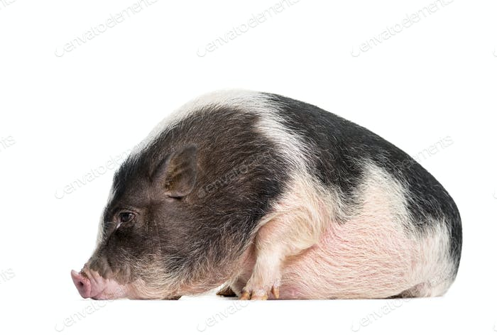 Domestic Pig, 6 months old, lying in front of white background