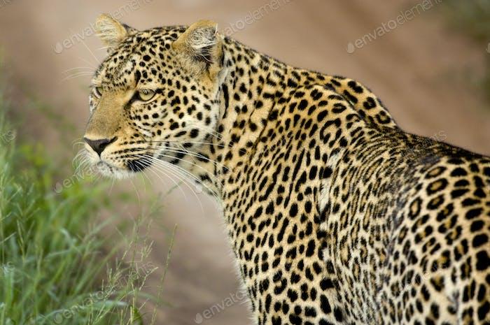 Leopard im Serengeti Nationalreservat
