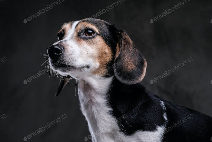 Portrait of a cute little beagle dog isolated on a dark background.