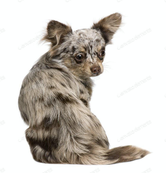 Rear view of Chihuahua puppy, 8 months old, sitting in front of white background