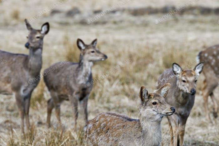 Red deer, Altai maral (Cervus elaphus sibiricus)