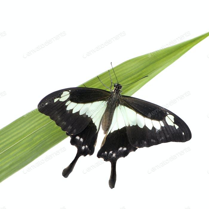 Papilo - Papilio phorcas
