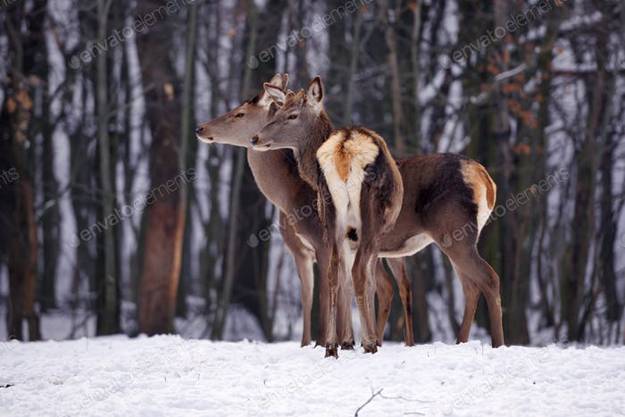 Young deers over the forest background in winter