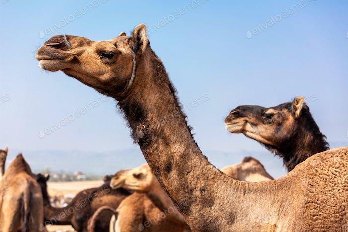 Camels at Pushkar Mela Camel fair in Rajasthan