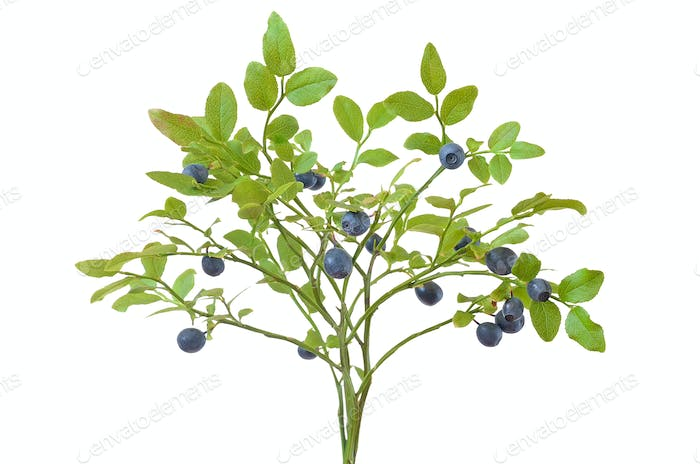 Ripe fresh blueberry branch
