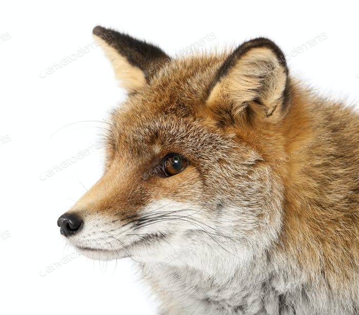 Old Red fox, Vulpes vulpes, 15 years old, against white background