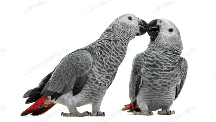 Two African Grey Parrot (3 months old) pecking,  isolated on white