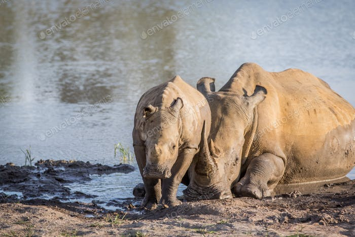 White rhino mother and calf by the water.