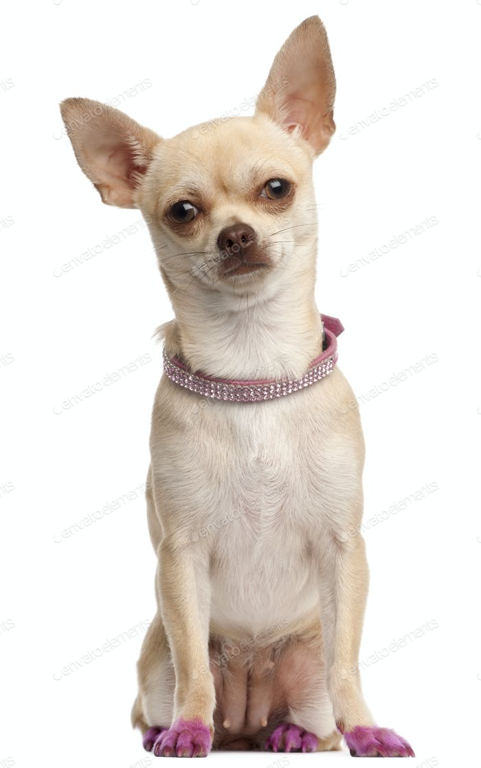 Chihuahua in pink, 11 months old, sitting in front of white background