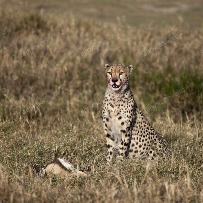 Cheetah sitting with prey, Serengeti National Park, Tanzania, Africa
