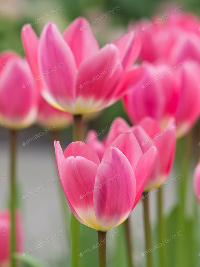 Vibrant pink tulips