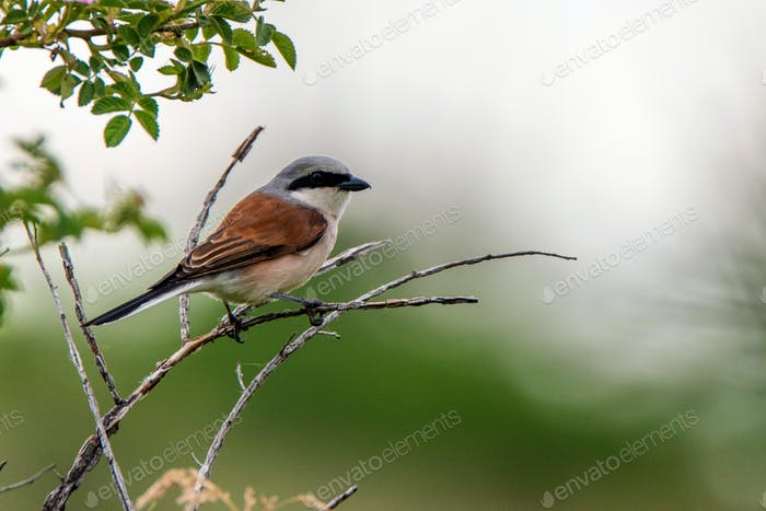 Red-backed Shrike or Lanius collurio on branch