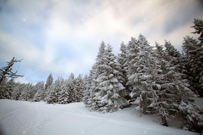 Schneebedeckte Tannenbäume