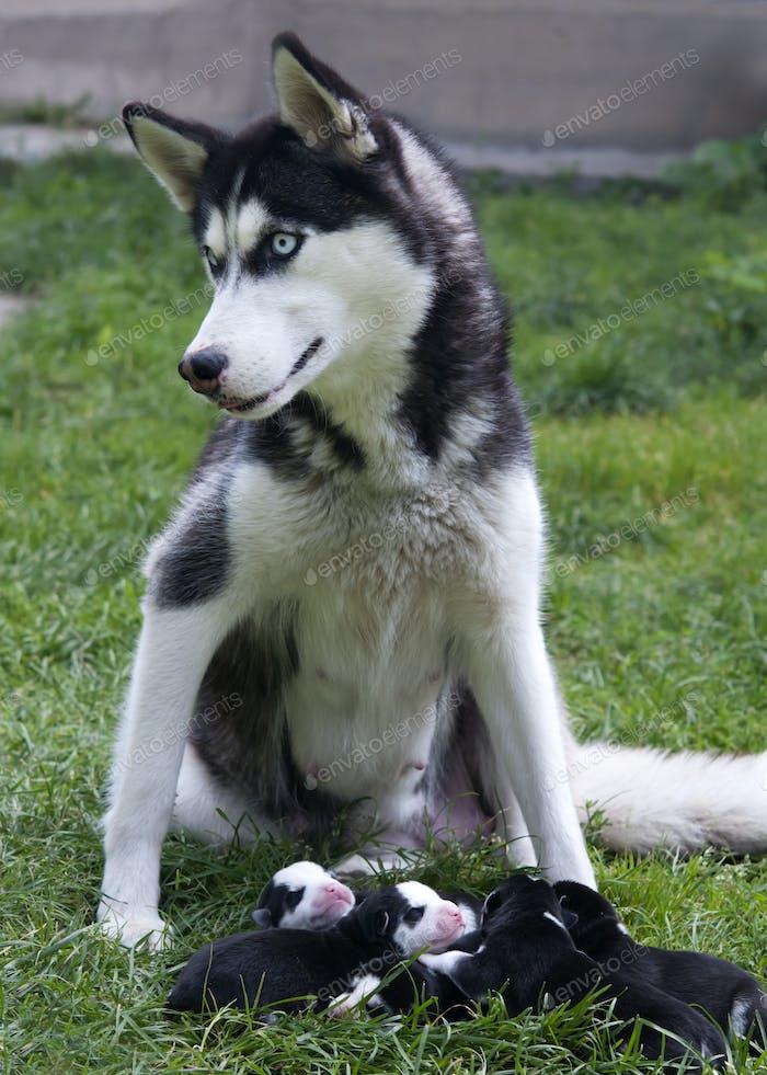 husky mother
