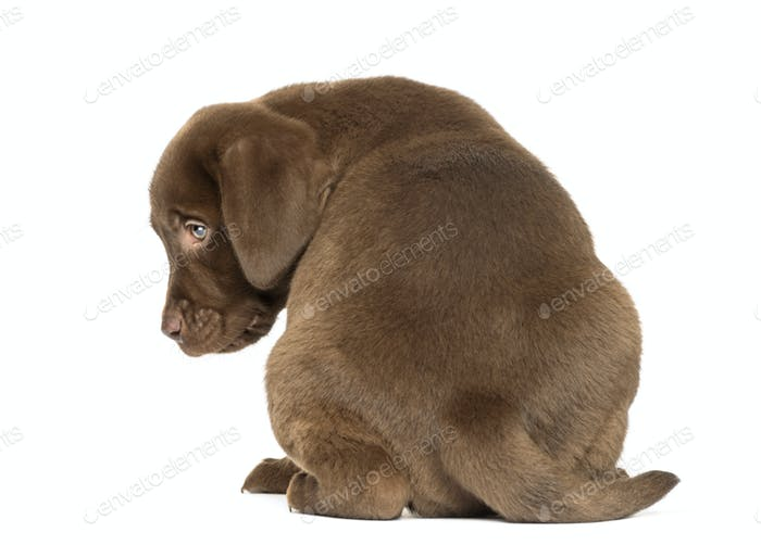 Back view of a Labrador Retriever Puppy sitting, 2 months old, isolated on white