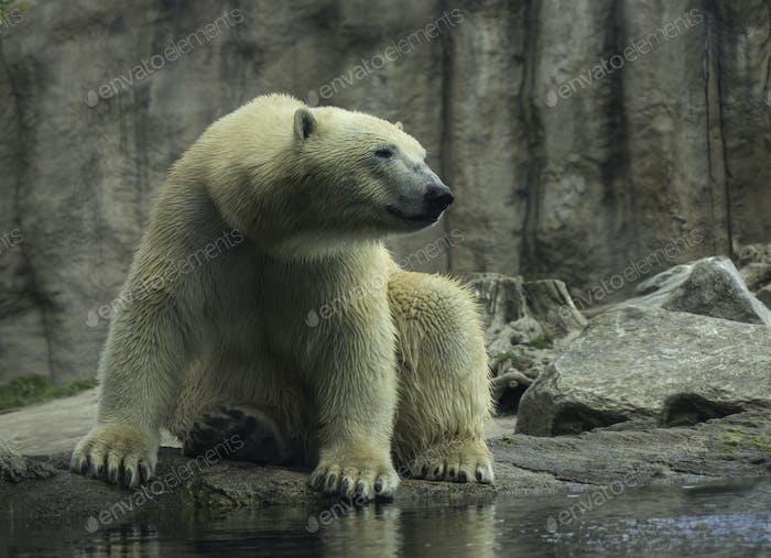 Eisbär Nahaufnahme