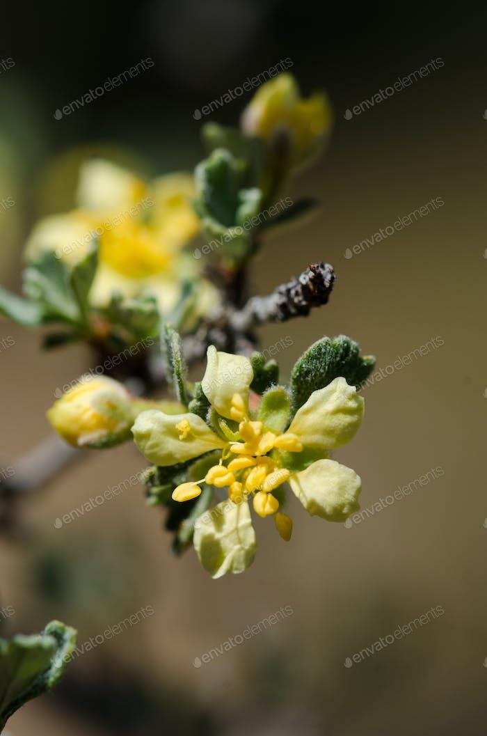 Purshia Tridentata Flower