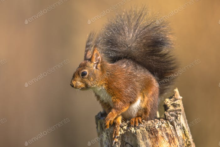 Red squirrel regardful on trunk
