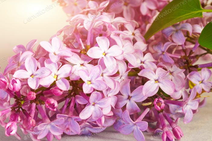 Beautiful blossoming lilac (syringa)