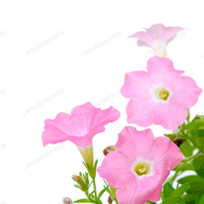 rosa Petunie