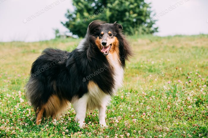 Rough Collie, Scottish Collie, Long-Haired Collie, English Colli