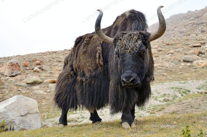 Brauner tibetischer Yak