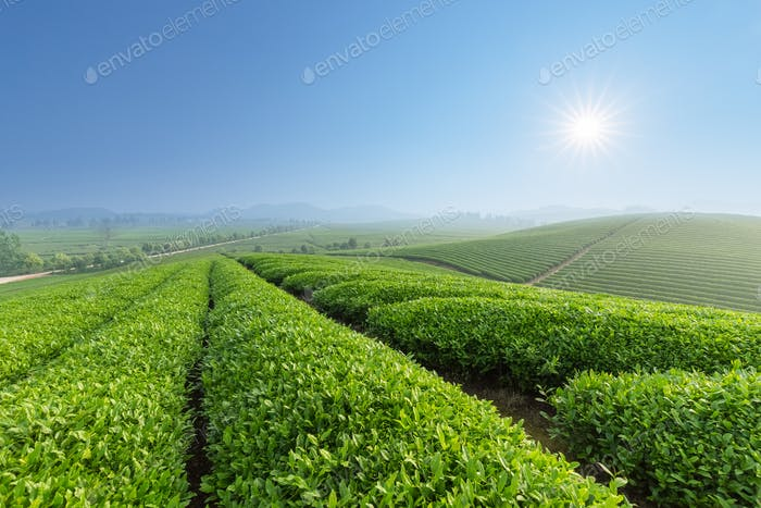 fresh tea plantation in morning