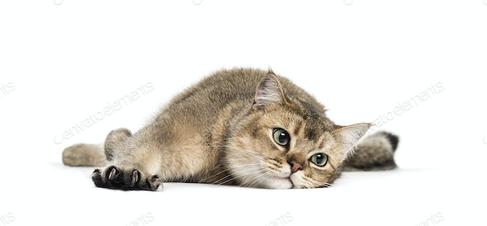 British Shorthair, 1 year old, stretching his Claws lying in front of white background