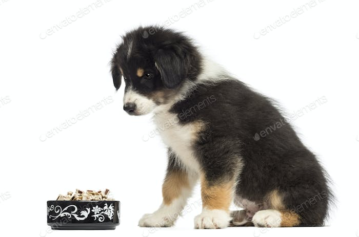 Australian Shepherd puppy, 2 months old, sitting and looking at bowl