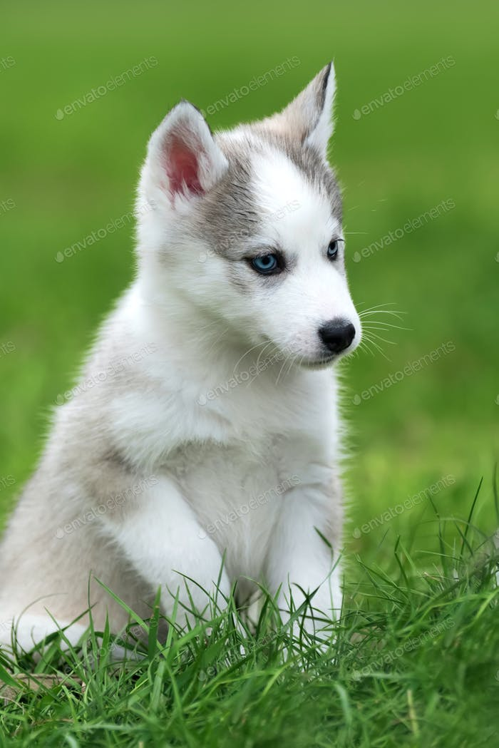 Thumbnail for Cute little husky puppy