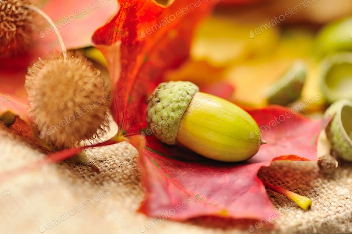 A acorn with autumn leaves