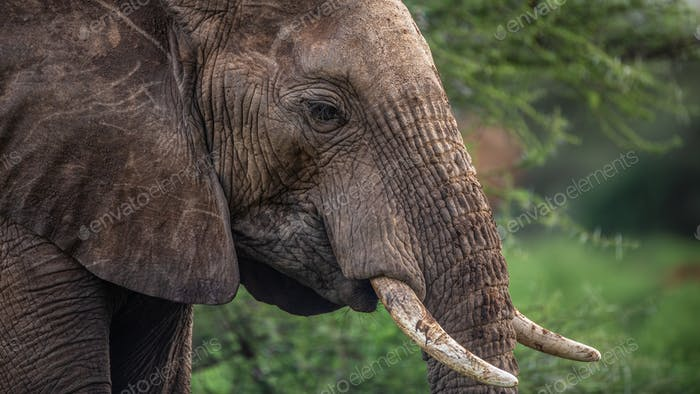 The African bush elephant