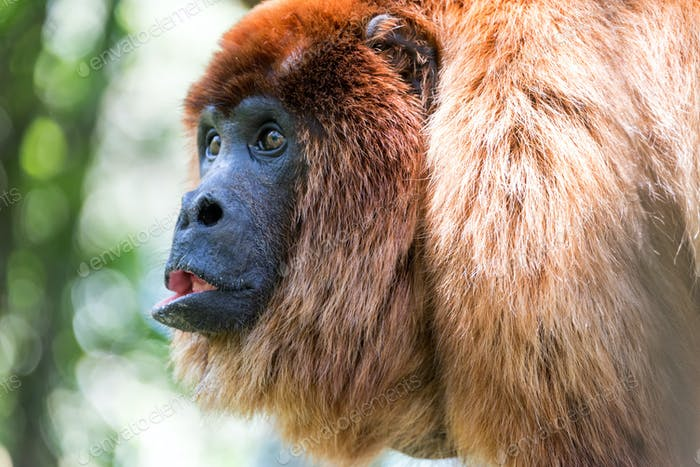 Red Howler Monkey Closeup